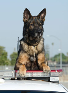 Training for Police Dogs